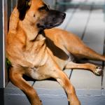 hound-dog-sitting