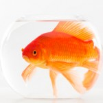 big-fish-in-small-bowl-150x150.jpg