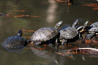turtles_in_line